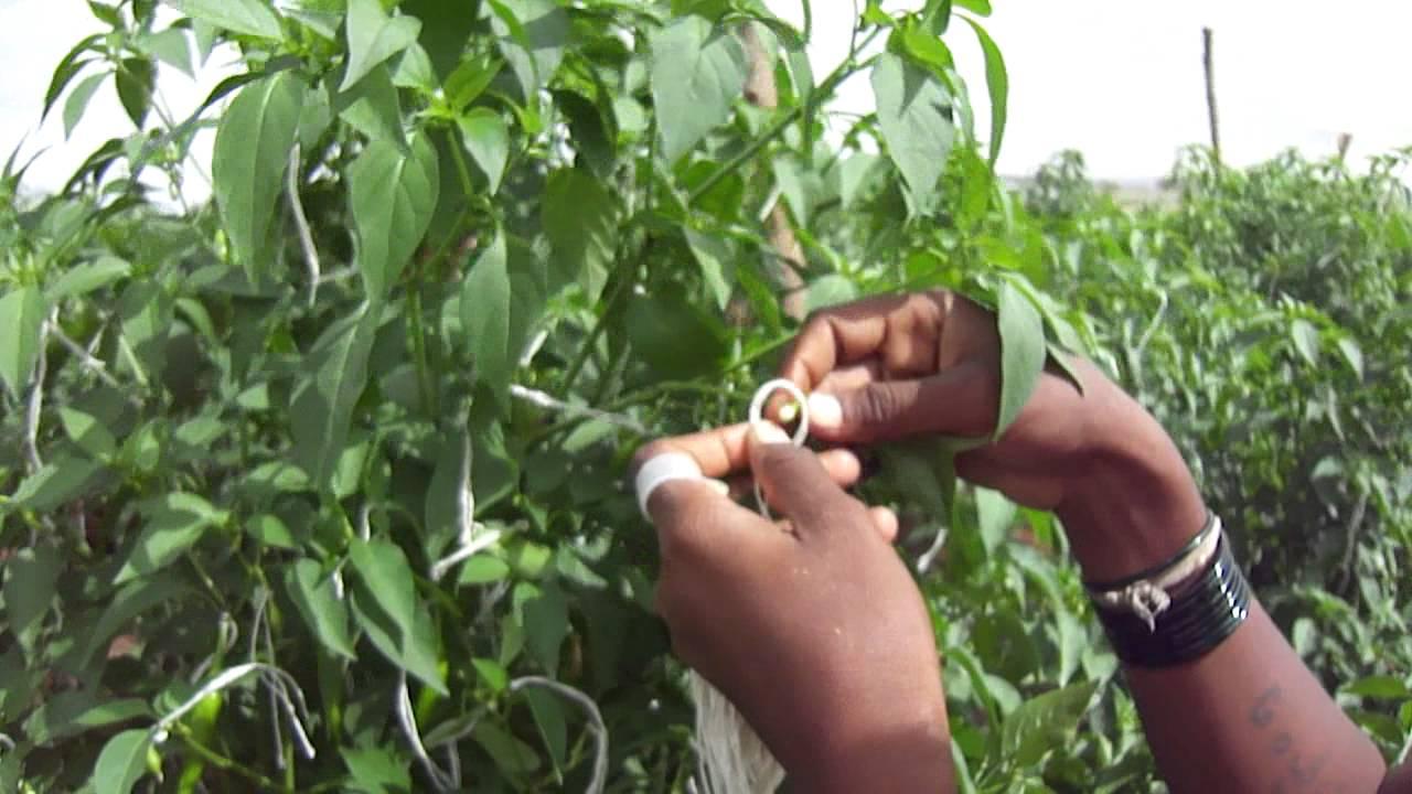 Hybrid seed prices cut by 10% for 2017-18 kharif season