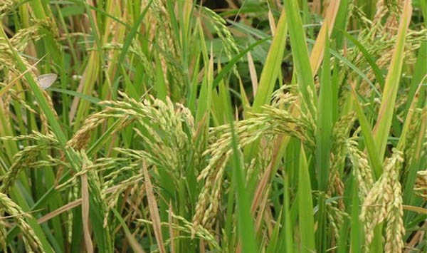 Govt hikes Minimum Support Price of Kharif crops to boost farmers income