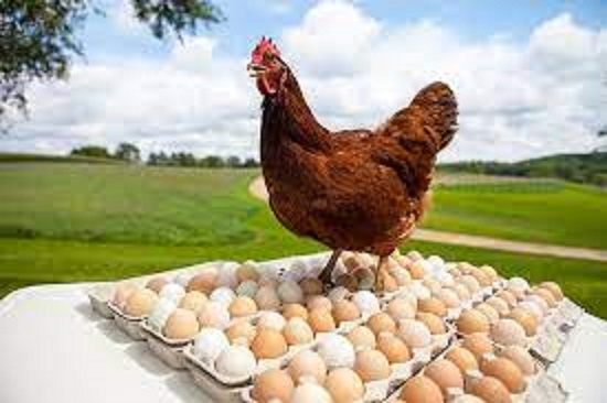 Poultry prices touch historic high, still farmers cry foul over input costs
