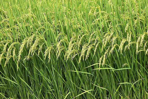 Rabi Crops sowing crosses 616 lakh hectares