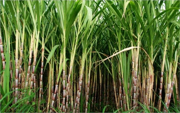 Govt hikes sugarcane price by Rs.20 per quintal
