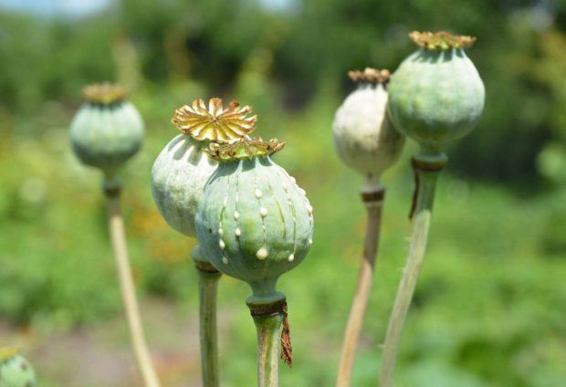 73 kg of poppy seized in Jammu, one held