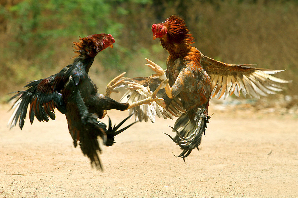 11-persons-arrested-for-cockfight-on-hyderabad-outskirts