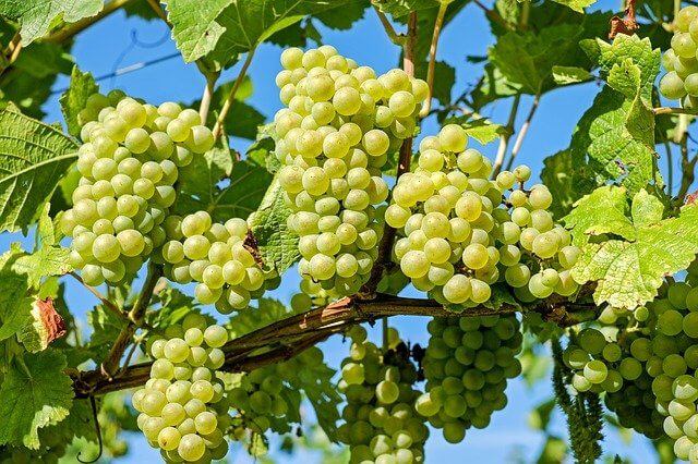 Grapes may act as an edible sunscreen: Study