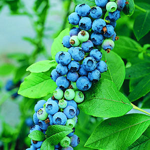 Blueberries may help treat post-traumatic stress disorder