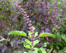 Uses of Tulsi, Haldi can prevent H1N1 influenza