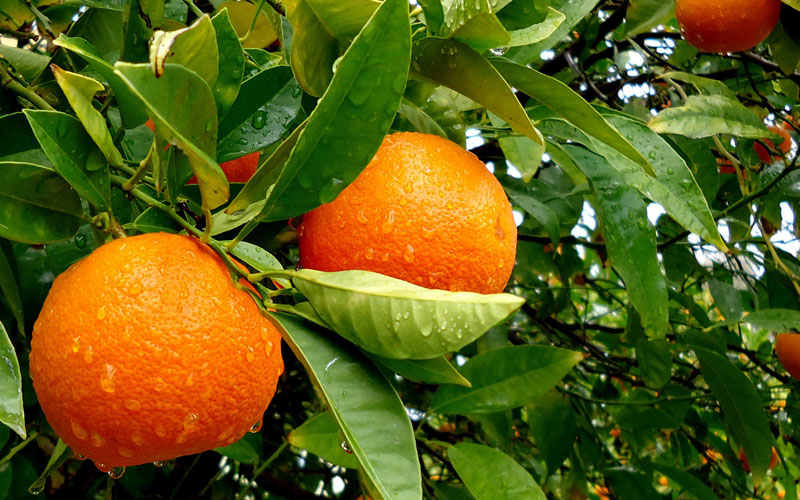Oranges may keep macular degeneration at bay