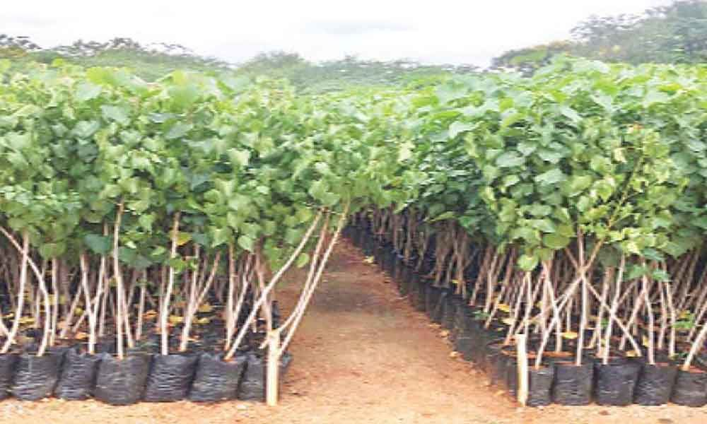 GHMC distributes 6 lakh saplings in Hyderabad