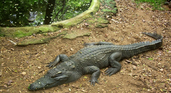 Nehru Zoo celebrates World Crocodile Day