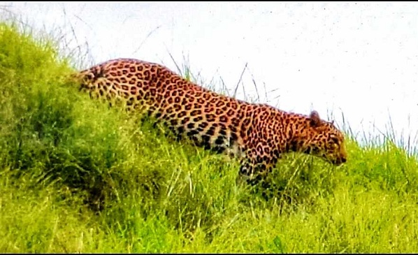 Leopard Killed four Goats in Vikarabad, Telangana