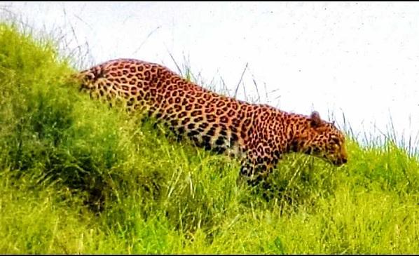 leopardkilledfourgoatsinvikarabadtelangana