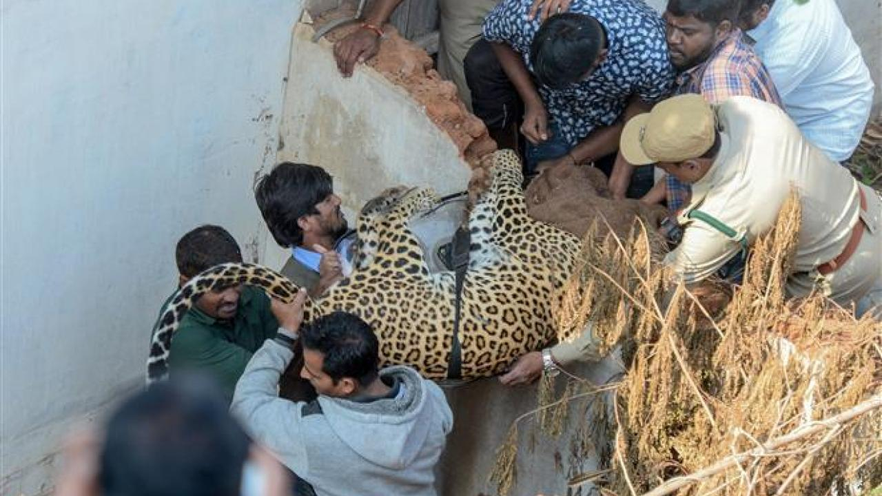leopard-enters-residential-area-in-shadnagar