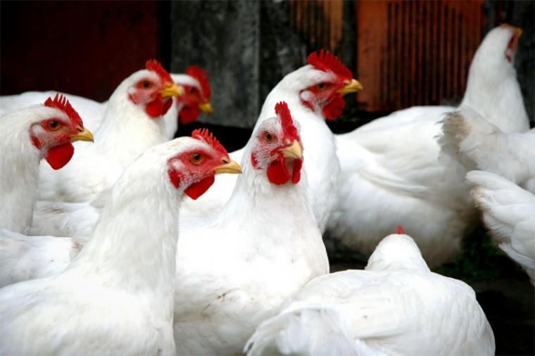 chickenpriceshootsuptors240kg