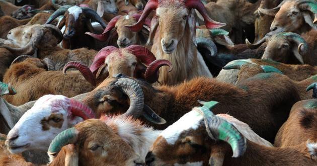 Sheep prices shoot up in Telangana ahead of Bakri-Eid