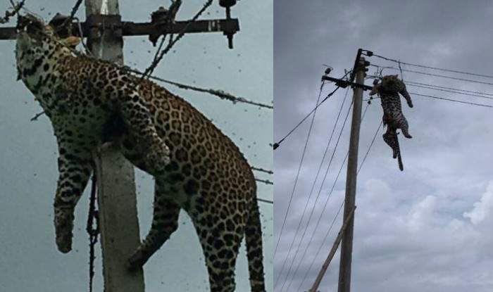 Panther found dead on electric pole
