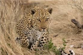 leopardattacksmaninkamareddy