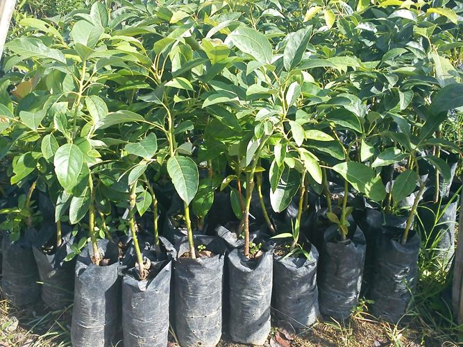 GHMC to plant 1 cr saplings from tomorrow