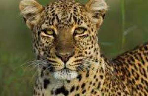 Leopard on the prowl on ICRISAT campus captured