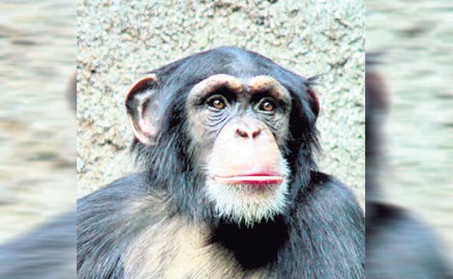 chimpanzeeattacksgardenerinnehruzoologicalpark