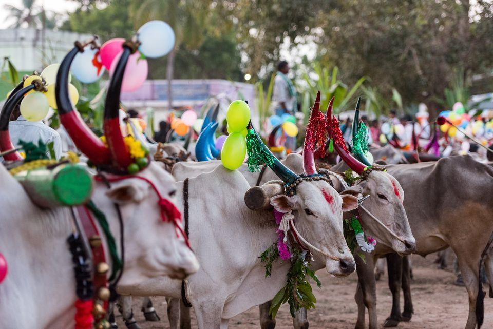 Telangana celebrates festival of cattle