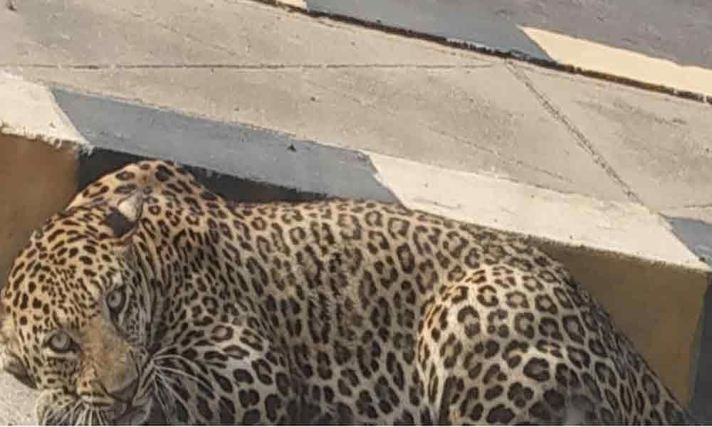 effortsontotrapleopardatmailardevpally