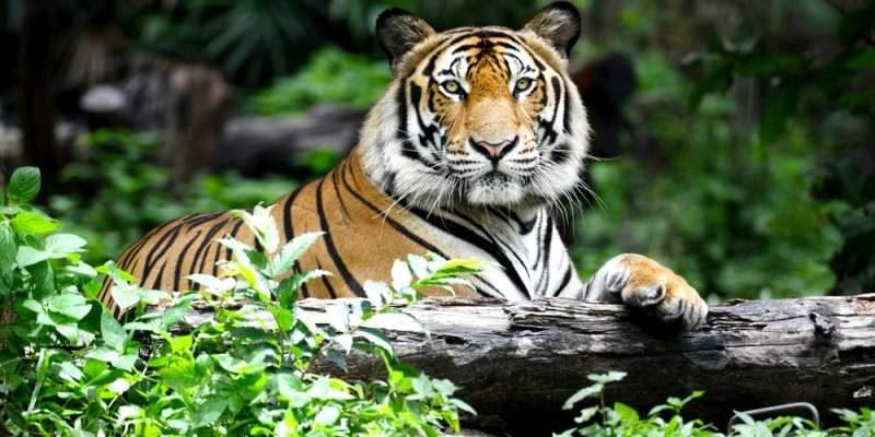 Tiger population up in Telangana