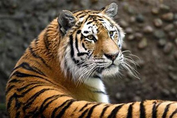 International Tiger Day being observed today