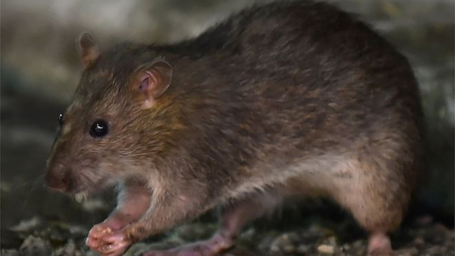 First human case of rat hepatitis found in Hong Kong