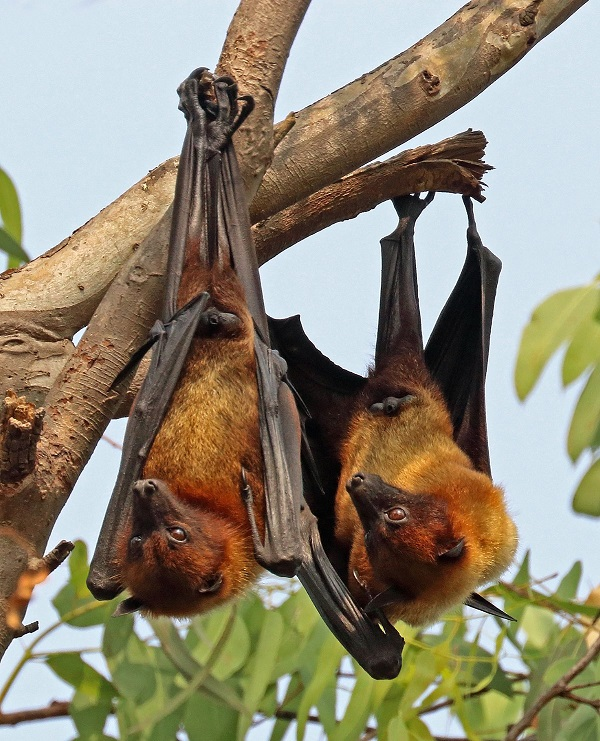 Chinese Researchers Find New Coronavirus in Bats.