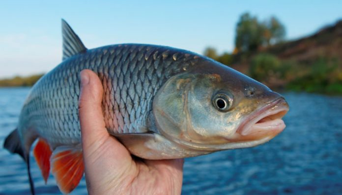 Fish becoming transgender in the UK rivers due to chemicals