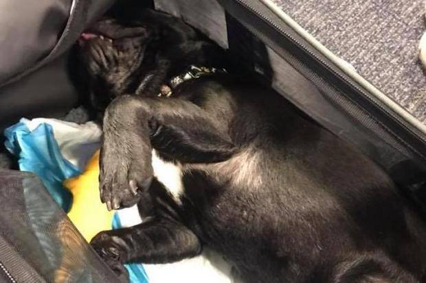 Dog dies on United Airlines flight after attendant forces owner to keep it in overhead bin