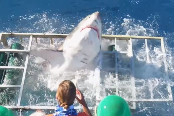 Great White Shark Thrashed Into A Cage - And A Diver Was Inside