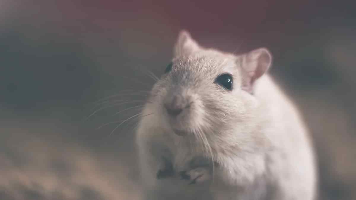 Man in China dies after testing positive for hantavirus - what exactly is it?