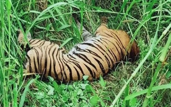 Dudhwa Tigress Dies Slow Death with Wire Trap Around Neck, After No Food for 10 Days