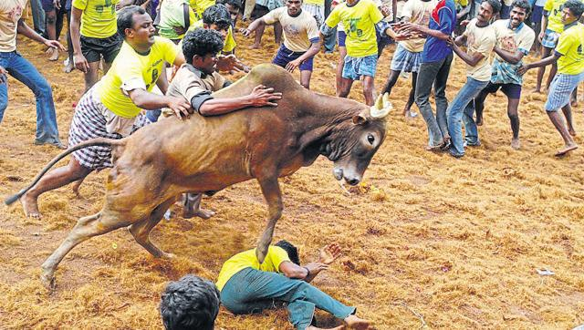 No Jallikattu in Tamil Nadu this year