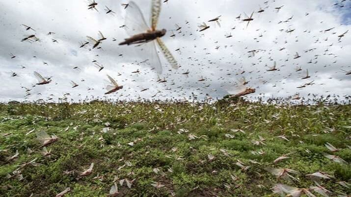 FAO warns India to be on high alert for next four weeks over locusts