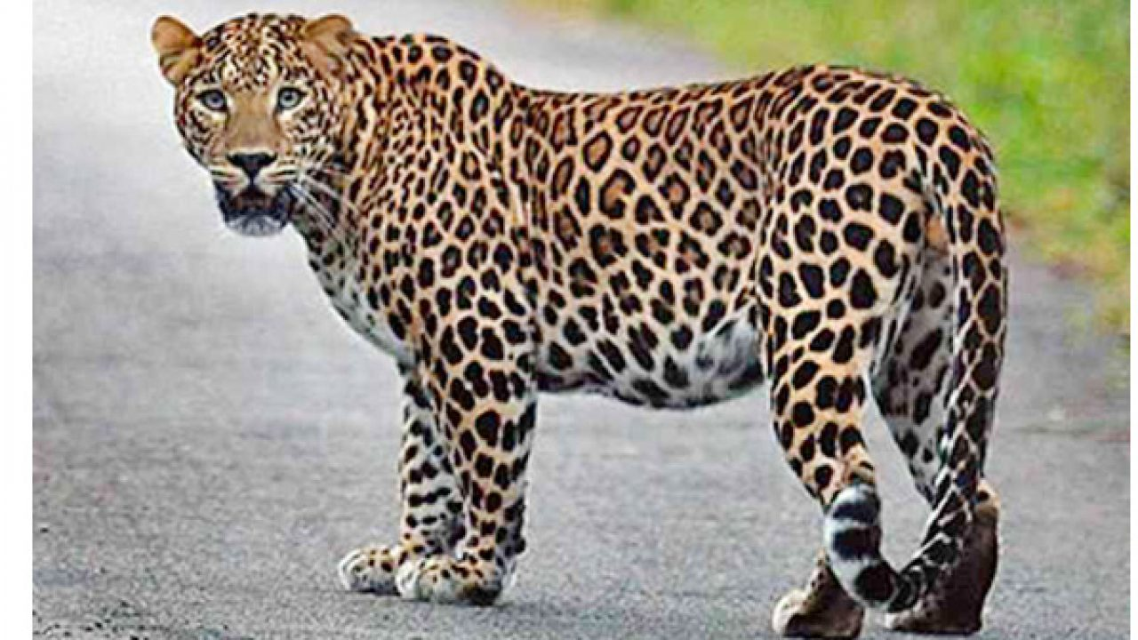 Leopard enters residential area in Nashik