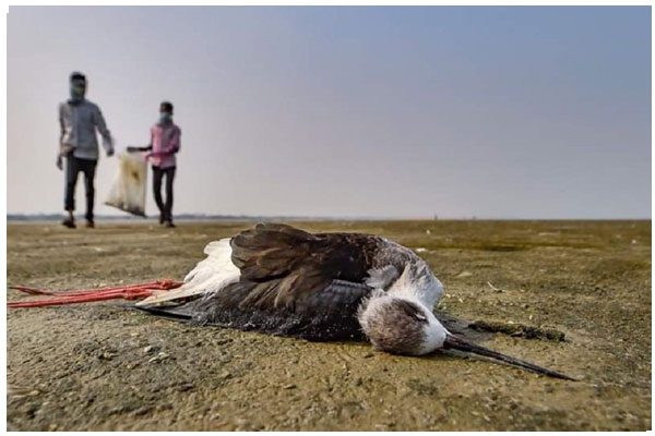 Bird flu kills 90 more birds in Rajasthan
