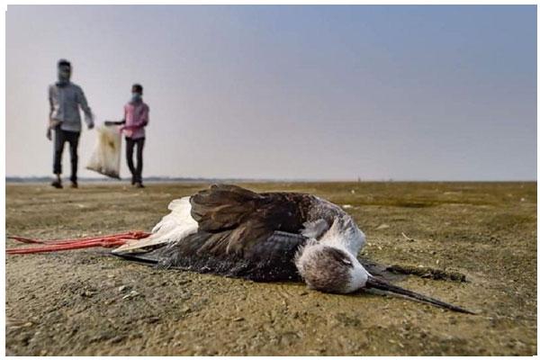 Bird flu kills 90 more birds in Rajasthan