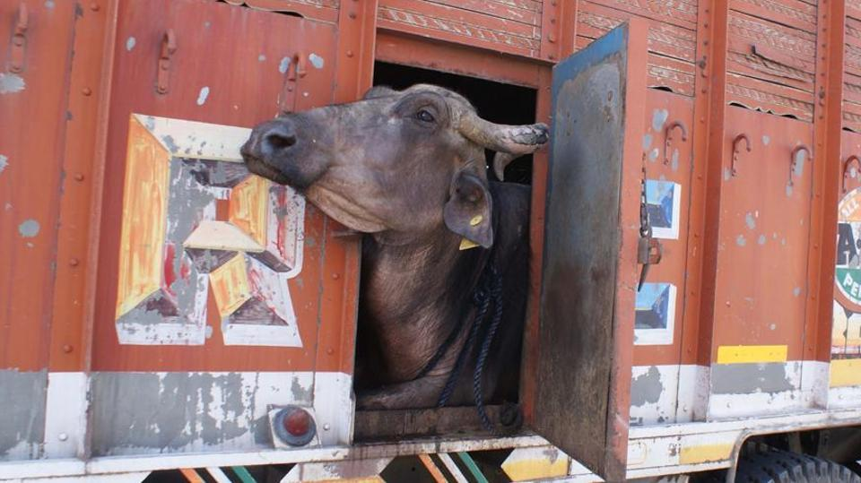 maharashtra:fourheldfortransportingbuffaloforallegedslaughter