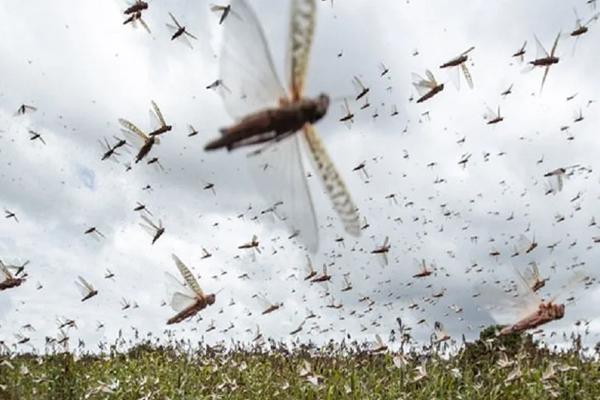 locustcontroloperationoninfullswing:agricultureministry