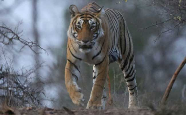 tigerdeathsincreasedby25%in2016:environmentminister