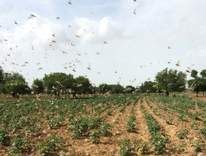 Indian Air Force joins locust control operations in Rajasthan