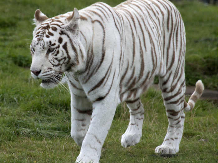 White tiger safari inaugurated in Satna district