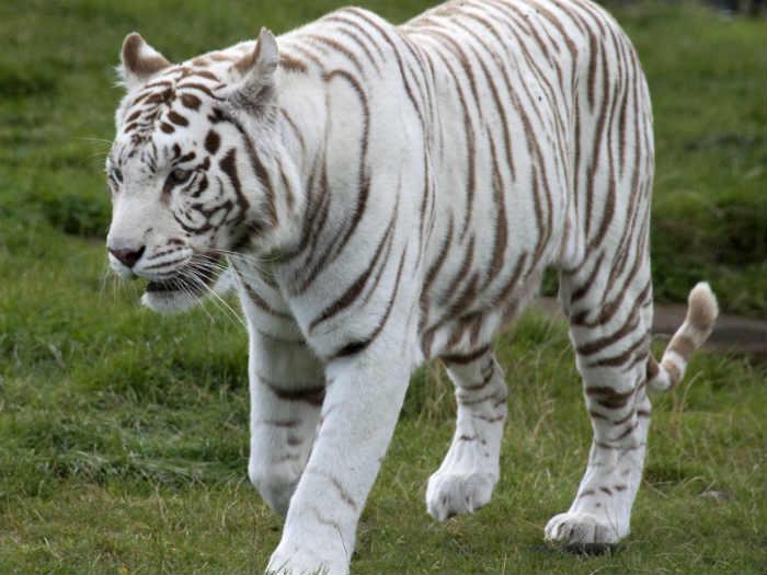 White tiger safari inaugurated in Satna district