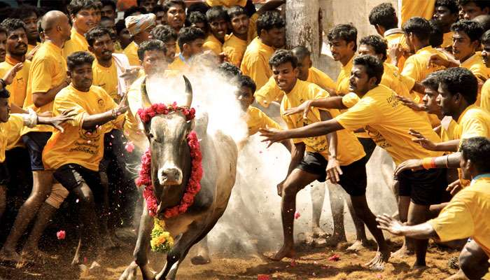 49 people injured on day one of Jallikattu festival in Tamil Nadu