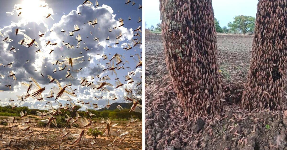High Alert in Punjab after Locust Nightmare Spreads to Maharashtra and UP