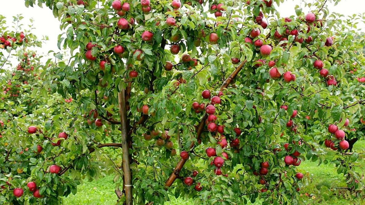J&K govt rolls out special scheme to procure apple from farmers