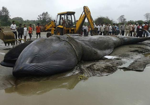 30-foot-long whale washed ashore in Mumbai