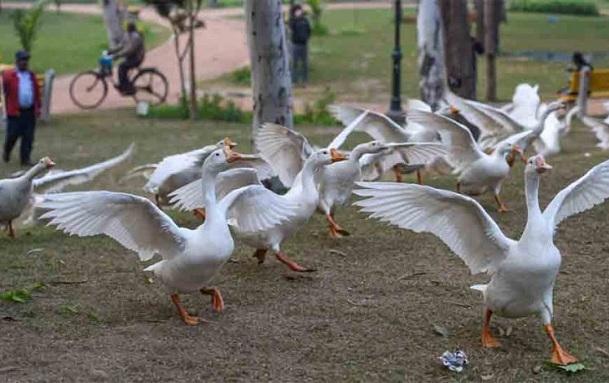 avianflukillsseveralbirdsatupskanpurzoo